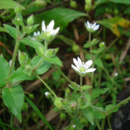 Chickweed, Powder (Stellaria media)